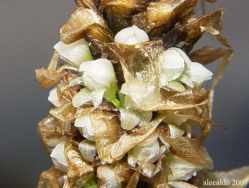 Aa argylolepis par alejorchids