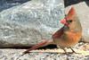 Against The Wind (Peter Camyre) Tags: bird birds cardinal longmeadow mass massachusetts peter camyre photography