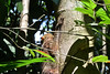 Singapore - MacRitchie Reservoir 6 (philk_56) Tags: singapore southeast asia macritchie reservoir woodland trail trees malayan colugo sunda flying lemur animal