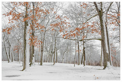 Winter's Color (Ping...) Tags: winter orange leaves colors tree michigan
