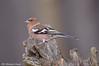Fringuello _004 (Rolando CRINITI) Tags: fringuello uccelli uccello ornitologia cisliano natura