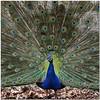 I´m so beautiful (pixel_unikat) Tags: animal bird peacock feather