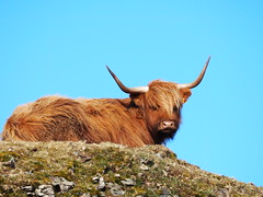 S3 - Lady In Waiting (Céanndhubahn) Tags: rocky bluesky windswept wind highlandcow cow scotland highlandcattle