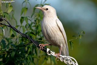 Common Starling, Sturnus vulgaris, white morph