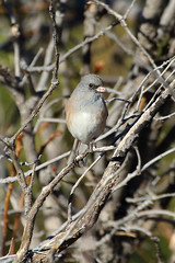 Dark-eyed Junco (Treflyn) Tags: bird wild wildlife disguised among bare branches colorado springs usa camouflaged pinksided darkeyed junco