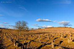 DSC_02259F (Javier_1972) Tags: bierzo viñas leon atardecer cielo arbol camino santiago caminodesantiago