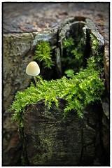 Toadstool Glade... (BIKEPILOT, Thx for + 4,000,000 views) Tags: photoshop photoshopped littlejapaneseumbrellatoadstool toadstool fungi nature naruralworld green treestump moss farnham uk england britain glade littlewindow