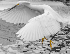 Relocation (tshabazzphotography) Tags: orlandowetlands wetlands nature park preserve wildlife bird wading family protector young chicks badhair flight wings yellow white egret dad lake water florida hiking explore adventure outdoors instagram