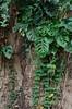 Passiflora & Monstera (Mabelín Santos) Tags: passiflora passifloraleaves tronco arbol tree panama