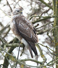 Pale Common Buzzard III - from the Willow Hide (glostopcat) Tags: commonbuzzard buzzard bird raptor birdofprey winter february slimbridge glos wildfowlwetlandstrust