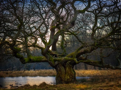 Old tree in Dyrehaven (ibjfoto) Tags: danmark denmark dyrehaven forest ibjensen ibjfoto natur sealand sjælland woodland skov trees træer