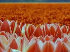 Tulips (Corine Bliek) Tags: flowers flower blooming bloei bollenvelden bulbs dutch hollands flowerfields bulbfields spring voorjaar red rood