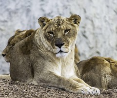 Lazy Lioness (hannahdurk1714) Tags: captivity untamed wild wildanimals wildanimal gold eyes femalelion female furry big claws fur creativephotography creative life africancats africa clear detail sharp perspective composition earth flickrphotography flickr photography dslrphotography nikonphotography nikondslr nikond5200 nikon getexplored inexplore exploration explore catphotography columbusphotography ohiophotography columbusohiozoo ohiozoo ohio columbuszoo zoo cat mothernature bokeh yellow bigcat outdoors closeupphotography closeup wildlifephotography naturephotography animalphotography lionphotography wildlife nature animal lioness lion