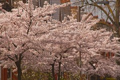 Herne Hill SE24.. (Adam Swaine) Tags: blossom springblossom awesomeblossoms trees street london england english britain british canon uk cities spring seasons nature naturelovers hernehill