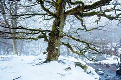 Winter's Tale II (J C Mills Photography) Tags: peak district derbyshire winter snow peakdistrict uk padleygorge trees oak