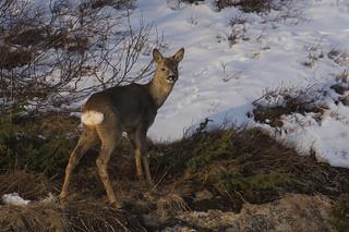 Roe deer - 'Say Cheese'