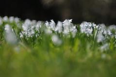 flower meadow - happy friday! :) (Frau Koriander) Tags: nikond300s helios helios44m6 bokeh dof meadow flowermeadow wiese blumenwiese palmengarten palmengartenfrankfurt frankfurtammain frankfurt depthoffield soft dreamy gras