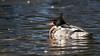 Red-breasted Merganser-09262 (Paul McGoveran) Tags: duck norfolkcounty simcoe sonya99 tamron150600 ontario canada ca redbreasted merganser
