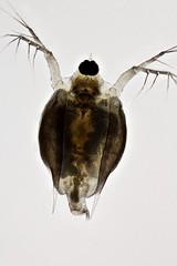 Scapholeberis (mr.sansibar) Tags: arthropoda crustacea plankton planapo pondlife zooplankton scapholeberis focusstacking olympusbh2 photomicrography microscopy heliconfocus polarizedlight waterflea cladocera
