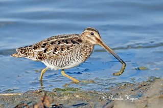 Wilson's Snipe with an invertebrate meal