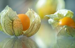 Physalis (blancobello) Tags: kapstachelbeere andenbeere physalis frucht obst fruit orange macro spiegelung reflection canon 100mm