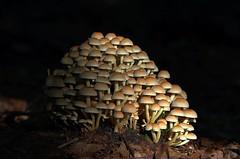 Pilzberg (jezebel_cux) Tags: cuxhaven cuxland küstenheide pilz niedersachsen lowersaxony deutschland germany