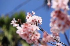 IMG_3884M 春櫻 (陳炯垣) Tags: spring blooming blossom flower cherry nature さくら