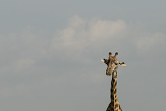 Dogwood 2018 Week 11 (delikizinyeri) Tags: giraffe kenya dogwood2018 week11 negativespace