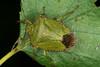 Palomena prasina (Linnaeus 1761) = Cimex prasinus Linnaeus, 1761, le pentatome vert ou punaise verte. (chug14) Tags: unlimitedphotos animalia arthropoda hexapoda insecta macro insecte hemiptera heteroptera pentatomidae pentatominae carpocorini punaise verte palomenaprasina pentatomevert cimexprasinus