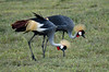 Grey crowned cranes (takashimuramatsu) Tags: balearicaregulorum graycrownedcrane crane pair couple safari tanzania ngorongoro crater nikon d850 greycrownedcrane