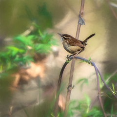 Carolina Wren, Lake Conestee, SC (hmthelords) Tags: lakeconestee