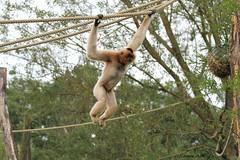 Gibbon à favoris roux_TIA NANG (Passion Animaux & Photos) Tags: primate gibbon favoris roux monkey crestedyellowcheekedgibbon nomascus gabriellae parc animalier saintecroix france