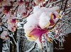 Spring Snow On Magnolia Blooms (Terry Aldhizer) Tags: spring snow magnolia blooms nature weather terry aldhizer wwwterryaldhizercom