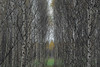 temple of the yellow heart (Mindaugas Buivydas) Tags: lietuva lithuania color autumn fall october tree trees birch memelland mindaugasbuivydas