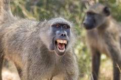 Intense moment (Gabriel Paladino Photography) Tags: chacmababoon tshwene bobbejaan bärenpavian chacma papión babuino monkey simio mono animal safari africa wild wildlife free reserve nature natural naturaleza canon sigma 150600 contemporary eos primate catarrino cercopithecidae sudafrica southafrica fauna scientific classification animalia chordata mammalia primates haplorhini simiiformes papio anger fierce moment intense head cabeza ira growl growling krugernationalpark mpumalanga northeasternsouthafrica kruger 77d capebaboon