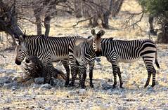 Zebra, Etosha National Park, Namibia (susiefleckney) Tags: etoshanationalpark namibia zebra hartmannszebra mountainzebra equuszebrahartmannae africa westafrica