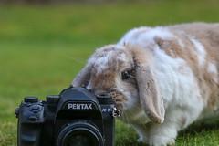 Say cheese (Paul Wrights Reserved) Tags: rabbit rabbits bunny bunnies camera lookingatthecamera bokeh bokehphotography pentax pentaxk1 k1 photographer