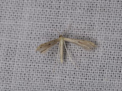 Adaina microdactyla (dhobern) Tags: 2018 china march xtbg xishuangbanna yunnan lepidoptera pterophoridae pterophorinae adainamicrodactyla