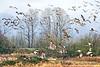 Wetlands Nirvana (Gary Grossman) Tags: birds cranes ducks geese flocks nature wild wildlife flight fog rain mist clouds spring oregon landscape garygrossmanphotogrpahy wildlifephotography sauvieisland pacificnorthwest