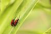 Le printemps, la saison de l'amour - Lioliocera lilii (Mathurin C) Tags: coleoptere coleoptera chrysomele criocère lys lioliocera lilii insecte insectes insecta nevers nievre bourgogne