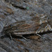Eucosma aspidiscana - Golden-rod bell