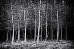 Pine Forest (Missy Jussy) Tags: pineforest trees cromptonmoor light shadows sunlight landscape blackwhite bw blackandwhite mono monochrome blackandwhitetrees pinetrees canon canon5dmarkll canon5d canoneos5dmarkii ef50mmf18ii 50mm primelens fixedfocallenghth