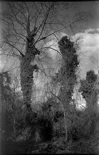 ivy-covered tree trunks, forest, sky, North Asheville, North Carolina, Olympus XA4, Rollei Retro 400S, Ilford Ilfosol developer, early April 2008
