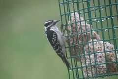 307/365/3594 (April 14, 2018) - Wet Downy Woodpecker (Saline, Michigan) - April 14, 2018