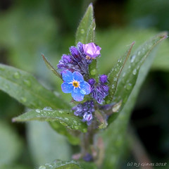 Forget-me-not droplets (ExeDave) Tags: p4101231 wood forgetmenot myosotis sylvatica stgregorys stgregory church churchyard dawlish teignbridge devon sw england gb uk plant flora flower wildflower nature april 2018 blue squarecrop grassland