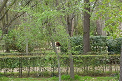 First red squirrel spotting for the day (koukat) Tags: aranjuez daytrip madrid royal palace gardens jardines palacio real parque viaje tren train trip green red squirrel ardilla
