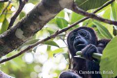 Howler monkey in San Lorenzo (10b travelling / Carsten ten Brink) Tags: carstentenbrink 10btravelling 2018 americas caribbean centralamerica iptcbasic latinamerica latinoamerica panama panamá sanlorenzo animal centroamerica cmtb howler mammal monkey primate protectedarea tenbrink
