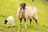 Mother & Daughter (Geoff France) Tags: ewe seep lamb agriculture spring lambing farming cattle