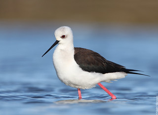 Black-winged Stilt (Háleggur) 5