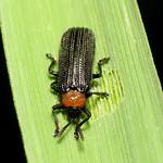 Grass-feeding Chrysomelid thumbnail